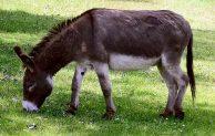 Keledai Gadungan