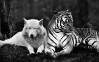Serigala Tua